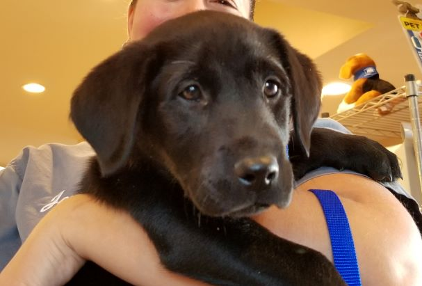 10-week-old Labrador Retriever